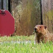 5002-groundhog Poster