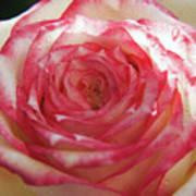 Nice Rose Poster