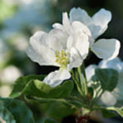 Apple Flowers Poster