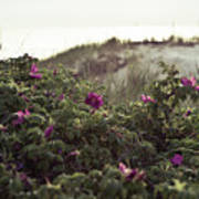 Rose Bush And Dunes Poster