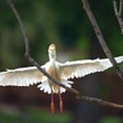Cattle Egret In Flight Portrait Poster