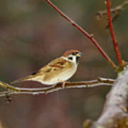 Eurasian Tree Sparrow Poster