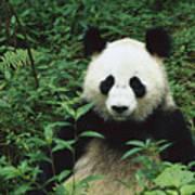 Giant Panda Ailuropoda Melanoleuca Poster by Cyril Ruoso