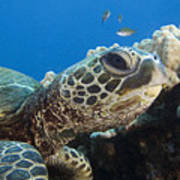Hawaii, Green Sea Turtle Poster