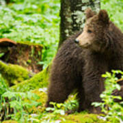 One Year Old Brown Bear In Slovenia Poster
