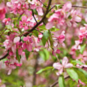 Pink Cherry Tree Poster