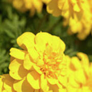 Tagetes Patula Fully Bloomed French Marigold At Garden In Octob Poster
