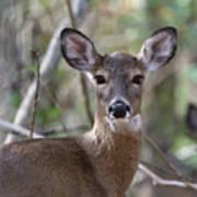 White Tailed Deer Smithtown New York Poster