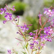 Alpine Wildflower Poster