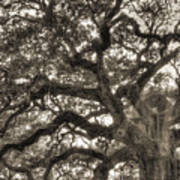 Angel Oak Live Oak Tree Poster