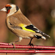 European Goldfinch Bird Close Up   Poster