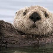 Sea Otter Elkhorn Slough Monterey Bay Poster