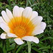 Australia - White Yellow Daisy Flower Poster