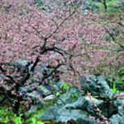 Blossoming Peach Flowers In Spring Poster