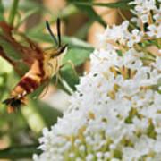 Clearwing Hummingbird Moth Poster