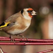 European Goldfinch Bird Close Up   Poster