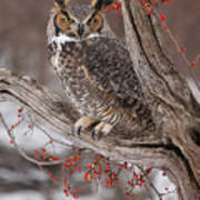 Great Horned Owl Poster by Cindy Lindow
