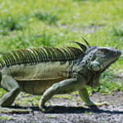 I Iguana Poster