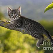 Kitten In A Tree Poster