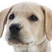 Labrador Puppy Poster