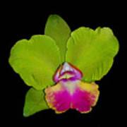 Orquid Poster