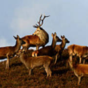 Red Deer In The Highlands Poster