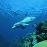 Bottlenose Dolphin Tursiops Truncatus Poster