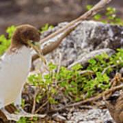 Juvenile Nazca Booby In Galapagos Poster
