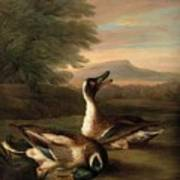 Two Drakes In Landscape Poster