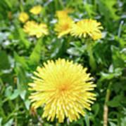 Yellow Dandelion Flowers Poster