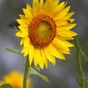 #933 D958 Best Of Friends Colby Farm Sunflowers Newbury Massachusetts Poster