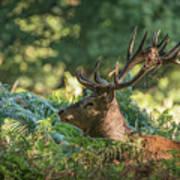 Majestic Powerful Red Deer Stag Cervus Elaphus In Forest Landsca Poster