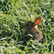 A Baby Cottontail Rabbit Sits Among Poster