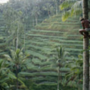 A Bahasa, Or Coconut Tree Climber Poster