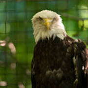 A Bald Eagle At The Lincoln Zoo Poster