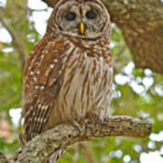 A Barred Owl Poster