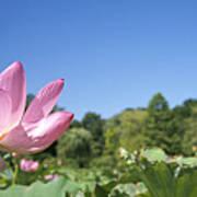 A Beautiful Emperor Lotus Blooms Poster
