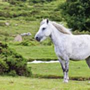 A Beautiful White Dartmoor Pony, Devon, England Poster