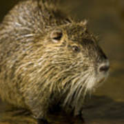 A Beaver From The Omaha Zoo Poster by Joel Sartore