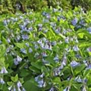 A Bed Of Bluebells Poster