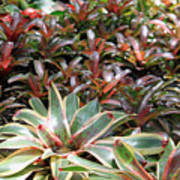 A Bevy Of Bromeliads Poster