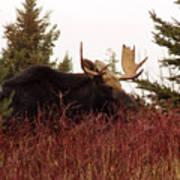 A Big Fierce-eyed Bull Moose Poster