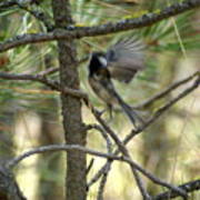 A Black Capped Chickadee Taking Off Poster
