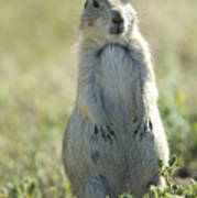 A Black-tailed Prairie Dog In Montana Poster