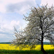 A Blooming Tree In A Rapeseed Field Poster