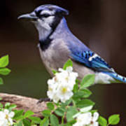 A Bluejay Bouquet Poster