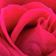 A Bright Pink Rose Close-up Poster