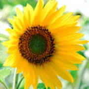 A Bright Yellow Sunflower Poster