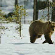 A Brown Bear Ursus Arctos Walks Poster