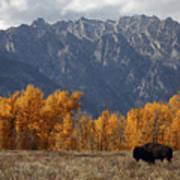 A Buffalo Grazing In Grand Teton Poster